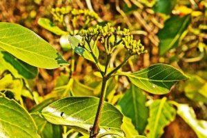 Tarenna zimbabwensis. Photo: Meg Coates Palgrave. Source: Flora of Zimbabwe