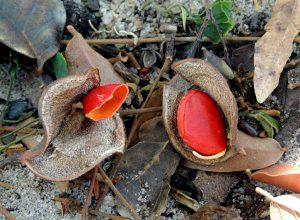 Guibourtia coleosperma. Photo: V.Williams. Source: Flora of Zimbabwe.