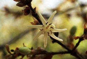 Sericanthe andongensis. Photo: Bart Wursten. Source: Flora of Zimbabwe