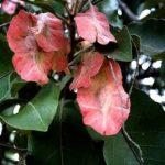Terminalia stenostachya fruit