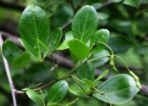 Maerua triphylla. Photo: Bart Wursten. Source: Flora of Zimbabwe