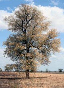 Acacia nigrescens. Photo: Petra Ballings. Source: Flora of Zimbabwe
