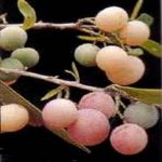 Boscia albitrunca fruit