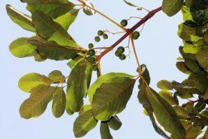Vitex doniana. Photo: Bart Wursten. Source: Flora of Zimbabwe