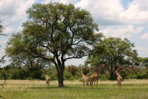 Combretum imberbe. Photo: Bart Wursten. Source: Flora of Zimbabwe
