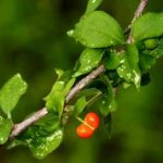 Erythrococca trichogyne. Photo: Bart Wursten. Source: Flora of Zimbabwe