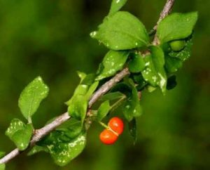 Erythrococca trichogyne. Photo: Bart Wursten. Source: Flora of Zimbabwe