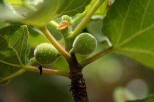 Ficus tettensis. Photo: Petra Ballings. Source: Flora of Zimbabwe