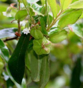 Diospyros whyteana. Photo: BT Wursten. Source: Flora of Zimbabwe.