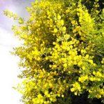 Acacia karroo flowers