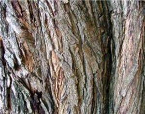 Tipuana tipu Bark on the main trunk