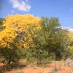 Kirkia acuminata, White Syringa ablaze in deep yellows and gold. A spectacular sight worthy of foliage tourism status indeed