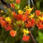 Castanospermum australe flowers