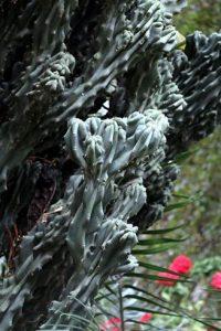 Cereus peruvianus f. monstrose (Monstrose Apple Cactus