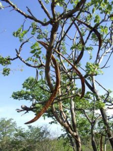 Markhamia acuminata. Photo: Rob Burrett. Source: Flora of Zimbabwe
