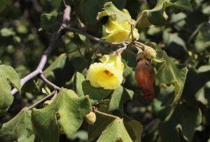 Azanza garckeana. Photo: Bart Wursten. Source: Flora of Zimbabwe