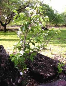 Holarrhena pubescens. Photo: Colin Wenham. Source: Flora of Zimbabwe