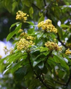 Pittosporum viridiflorum. Photo: Bart Wursten. Source: Flora of Zimbabwe