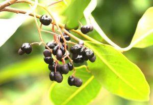 Apodytes dimidiata. Photo: Bart Wursten. Source: Flora of Zimbabwe