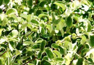 Tapiphyllion velutinum. Photo: Bart Wursten. Source: Flora of Zimbabwe