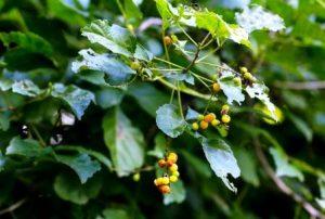 Allophylus africanus. Photo: Bart Wursten. Source: Flora of Zimbabwe