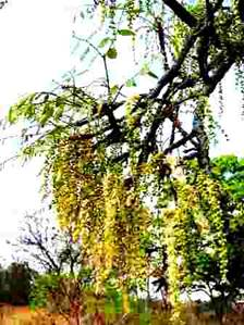 Burkea africana flowering. Photo: Mark Hyde. Source: Flora of Zimbabwe