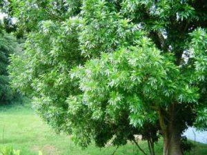 Filicium decipiens. Photo: Bart Wursten. Source: Flora of Zimbabwe