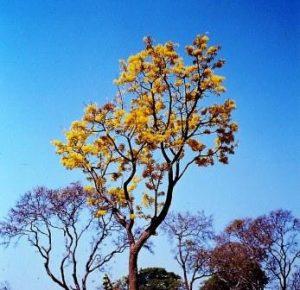 Ochna schweinfurthiana. Photo: Mike Bingham. Source: Flora of Zimbabwe
