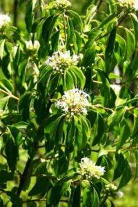 Clerodendron glabrum. Photo: Bart Wursten. Source: Flora of Zimbabw