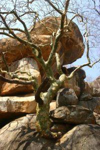 Commiphora Marlothii. Photo: Bart Wursten. Source: Flora of Zimbabwe.