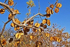 Combretum elaeagnoides. Photo: Meg Coates Palgrave. Source: Flora of Zimbabwe