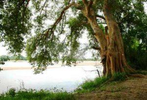 Ficus sycomorus. Photo: Bart Wursten. Source: Flora of Zimbabwe