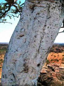 Boscia albitrunca. Photo: Bart Wursten. Source: Flora of Zimbabwe