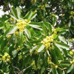 Uapaca nitida. Photo: Bart Wursten. Source: Flora of Zimbabwe