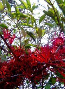Globimetula mweroensis. Photo: Bart Wursten. Source: Flora of Zimbabwe