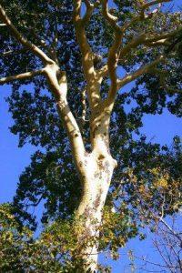Sterculia appendiculata. Photo: Bart Wursten. Source: Flora of Zimbabwe