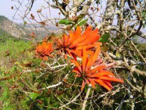Erythrina lysistemon. Photo: Bart Wursten. Source: Flora of Zimbabwe