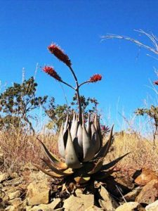 Aloe ortholopha. Photo: Isla G