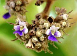 Vitex payos. Photo: Bart Wursten. Source: Flora of Zimbabwe