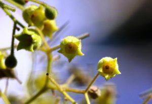 Sterculia quinqueloba. Photo: Bart Wursten. Source: Floraof Zimbabwe