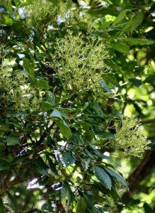 Schefflera umbellifera. Photo: BT Wursten. Source: Flora of Zimbabwe.