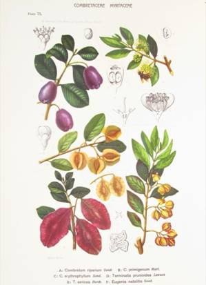 Plate 75 from Marloth's Flora of South Africa Vol. 2(2), 1925