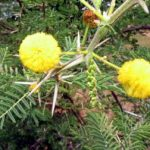 Acacia karroo showing spines and pom pom flowers