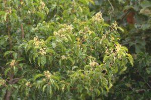 Heteropyxis denhiae. Photo: Bart Wursten. Source: Flora of Zimbabwe
