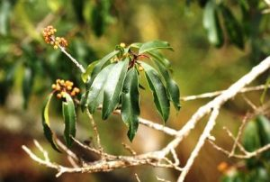 Ilex mitis, Photo: Bart Wursten. Source: Flora of Zimbabwe