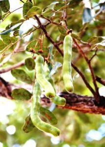 Swartzia madagascariensis, snake bean. Photo: Stephaan Dondeyne; Source: Flora of Zimbabwe