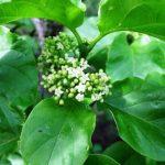 Canthium lactescens. Photo: Rob Burrett. Source: Flora of Zimbabwe