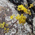 Ochna puberula flowers. Photo: Mark Hyde. Source: Flora of Zimbabwe