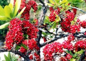 Ochna pulchra. Photo: Bart Wursten. Source: Flora of Zimbabwe