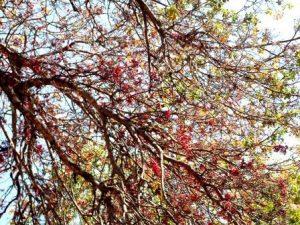 Schotia brachypetala. Photo: Penny English. Source: Flora of Zimbabwe